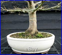 Bonsai Tree Sharpes Pigmy Maple JMSPST-202