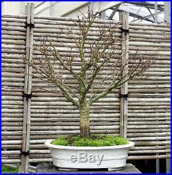 Bonsai Tree Sharpes Pigmy Maple JMSP-109A