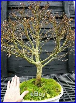 Bonsai Tree Sharpes Pigmy Maple Specimen Tree JMSPST-304