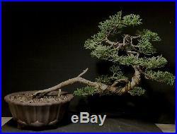 Bonsai Tree Shimpaku 11 tall, 14+ Years Old, Yixing Zisha Pot With Chop Mark
