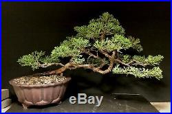 Bonsai Tree Shimpaku 9.5 tall, 14+ Years Old, Yixing Zisha Pot With Chop Mark