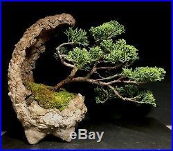 Bonsai Tree Shimpaku Juniper 12-14 Years 9 3/4 tall, Hand Made Kurama Moon Pot