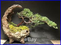 Bonsai Tree Shimpaku Juniper 12 Years Old 9 1/8 tall, Man Made Kurama Moon Pot