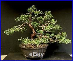 Bonsai Tree Shimpaku Juniper 14+ Years Old 11 1/4 tall, Yixing Zisha Pot W Chop