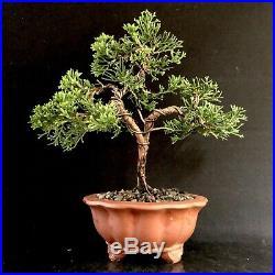 Bonsai Tree Shimpaku Juniper 9 Years 9 3/4 Tall, Yixing Zisha Pot, Wire Trained