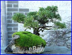 Bonsai Tree Shimpaku Juniper Itoigawa Lace Rock Planting SJILR-1229A