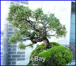 Bonsai Tree Shimpaku Juniper Itoigawa Lace Rock Planting SJILR-1229D