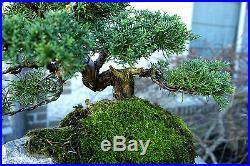 Bonsai Tree Shimpaku Juniper Itoigawa Lace Rock Planting SJILR-1229E