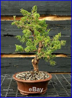 Bonsai Tree Shimpaku Juniper Itoigawa SJI-1215D
