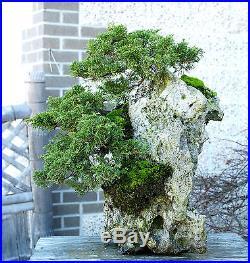Bonsai Tree Shimpaku Juniper Itoigawa Three Tree Lace Rock Planting SJILR-1229F
