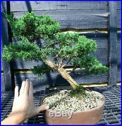 Bonsai Tree Shimpaku Juniper Kishu SJ-509B