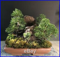 Bonsai Tree Shimpaku Juniper Saikei Raft Style 9 Tall, Red Rock Landscape