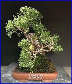 Bonsai Tree Shimpaku Juniper Saikei Windswept 10 1/4 Tall Red Rock Sandstone