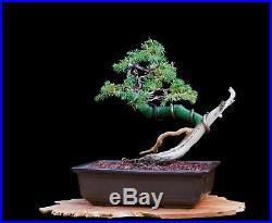 Bonsai Tree Shohin Japanese Juniper (Procumbens Nana) in Tokoname Clay Pot