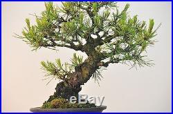 Bonsai Tree Shohin Japanese Red Pine
