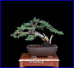 Bonsai Tree Slanting San Jose Juniper with 2 ½ Trunk