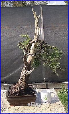 Bonsai Tree, Southern Redcedar, Juniperus silicicola, Quality Styled Bonsai! #2