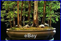 Bonsai Tree Specimen Dawn Redwood Grove DRGST11-830A