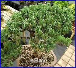 Bonsai Tree Specimen Five Needle Japanese White Pine FNPST-218D