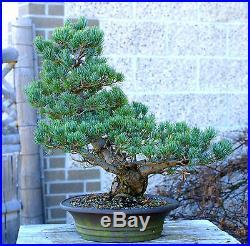 Bonsai Tree Specimen Five Needle Japanese White Pine FNPST-218E