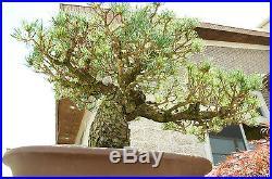 Bonsai Tree Specimen Five Needle Japanese White Pine FNPST-505I
