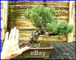 Bonsai Tree Specimen Five Needle Japanese White Pine FNPST-816A