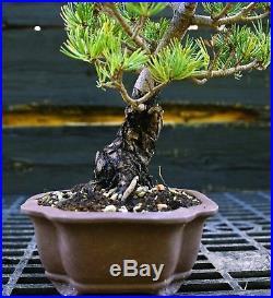 Bonsai Tree Specimen Five Needle Japanese White Pine FNPST-920G