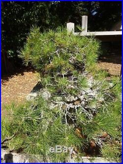 Bonsai Tree Specimen Imported Japan BLACK PINE PINUS THUNBERGII TL-8 Cascade