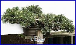 Bonsai Tree Specimen Imported Japan JUNIPERUS COMMUNIS, VARIEGATED JUNIPER TL16