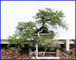Bonsai Tree Specimen Imported Japan JUNIPERUS PFITZERIANA, PFITZER JUNIPER TL19