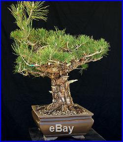 Bonsai Tree Specimen Imported Japanese Black Pine JBPSTQ380-509B