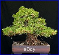 Bonsai Tree Specimen Imported Japanese Black Pine JBPSTQ428-509