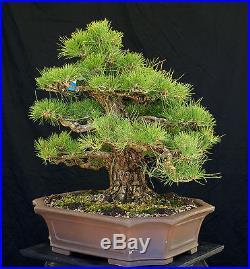 Bonsai Tree Specimen Imported Japanese Black Pine JBPSTQ478-509B