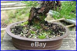 Bonsai Tree Specimen Imported Japanese Black Pine JBPST-109
