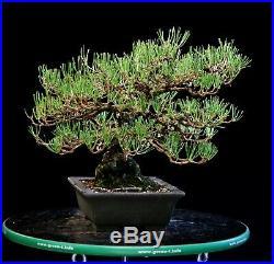 Bonsai Tree Specimen Imported Japanese Black Pine JBPST-804