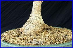 Bonsai Tree Specimen Imported Japanese Maple JMSTQ466-509