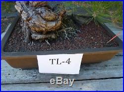 Bonsai Tree Specimen Imported from Japan BLACK PINE PINUS THUNBERGII 100 YR +