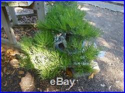 Bonsai Tree Specimen Imported from Japan BLACK PINE PINUS THUNBERGII TL-12