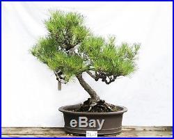 Bonsai Tree Specimen Imported from Japan BLACK PINE PINUS THUNBERGII TL-7