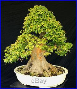 Bonsai Tree Specimen Imported from Japan Trident Maple TMSTQ318-509A