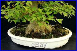 Bonsai Tree Specimen Imported from Japan Trident Maple TMSTQ324-509