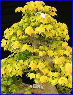 Bonsai Tree Specimen Imported from Japan Trident Maple TMSTQ400-509