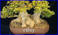Bonsai Tree Specimen Imported from Japan Trident Maple TMSTQ453-509