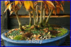 Bonsai Tree Specimen Japanese Beech 7 Tree Grove JBG7ST-1130C