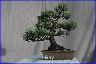 Bonsai Tree Specimen Japanese Black Pine