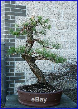 Bonsai Tree Specimen Japanese Black Pine by Mauro Stemberger JBPST-1229A