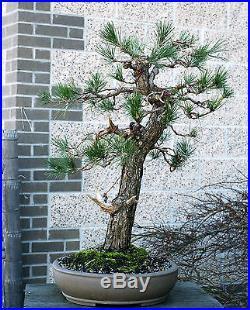 Bonsai Tree Specimen Japanese Black Pine by Mauro Stemberger JBPST-1229B