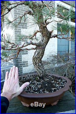 Bonsai Tree Specimen Japanese Black Pine by Mauro Stemberger JBPST-1229C