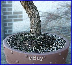 Bonsai Tree Specimen Japanese Black Pine by Mauro Stemberger JBPST-1229D