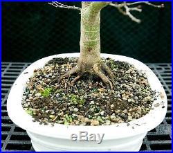 Bonsai Tree Specimen Japanese Maple Sharpes Pygmy JMSPST-1215